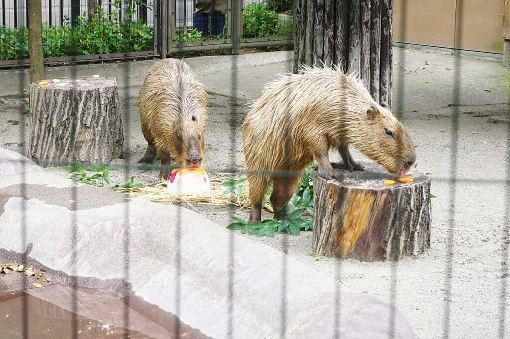 井の頭自然文化園のカピバラ