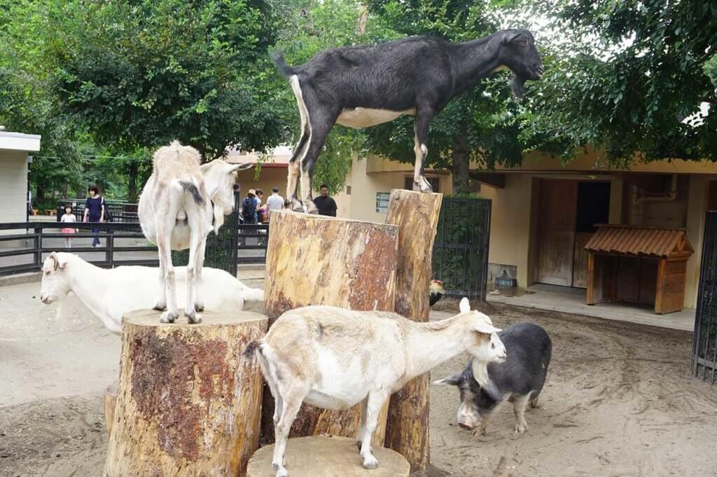 井の頭自然文化園のヤギたち